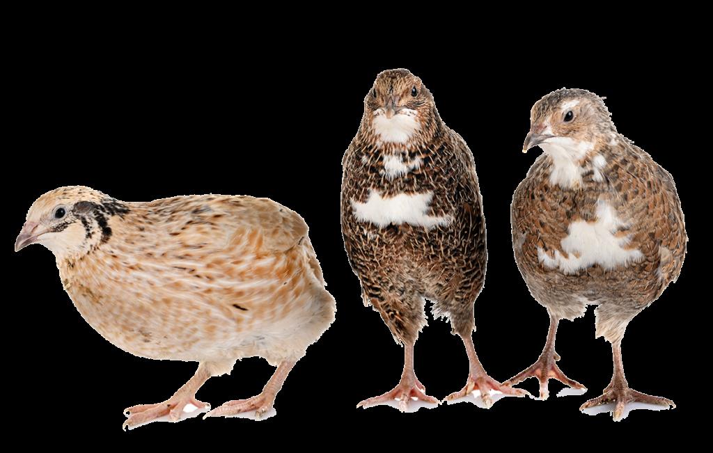 鵪鶉協會 鵪鶉蛋 鵪鶉