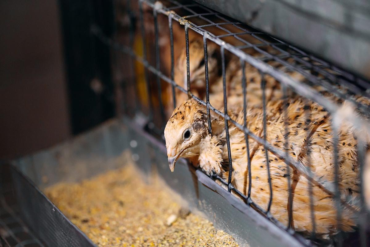 嘉義鵪鶉產量佔全國七成